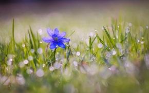 Обои боке, природа, цветы, капли