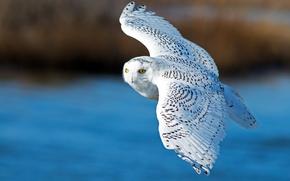 Картинка полёт, белая сова, крылья, полярная сова, птица