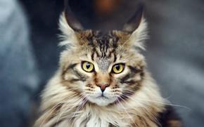 Обои кошка, кот, мейн-кун, мейн кун