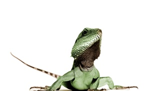 Картинка green, lizard, Animal, reptile, leguan