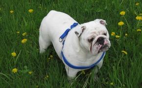 Картинка собаки, бульдог, английский