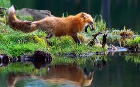 Картинка трава, свет, река, ручей, игра, лиса, лисы, лисёнок