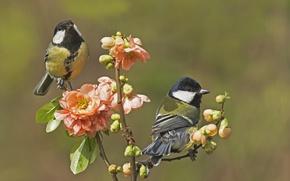 Обои цветы, птицы, ветка, весна, пара, бутоны, синицы