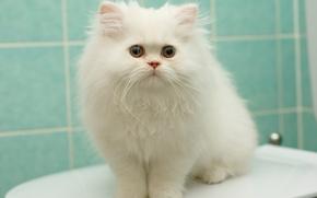 Обои белый, пушистый, перс, котёнок