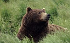 Картинка трава, Медведь, запах