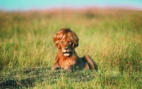 Обои причёска, грива, лев, юмор
