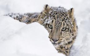 Картинка хищник, снег, снежный барс, выглядывает, сугроб, зима, морда, снежный леопард, ирбис, зоопарк, детёныш, дикая кошка, ...