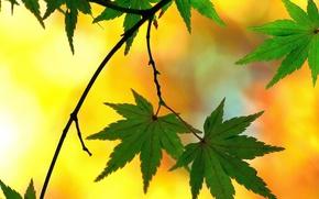 Картинка листья, ветка, японский клен