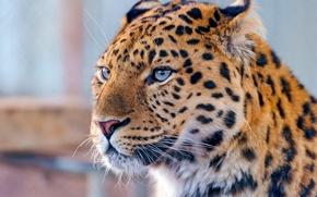Обои усы, леопард, взгляд, amur leopard, дальневосточный, морда