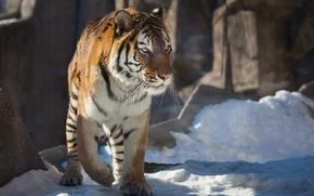 Картинка тигр, хищник, снег, дикая кошка, зима
