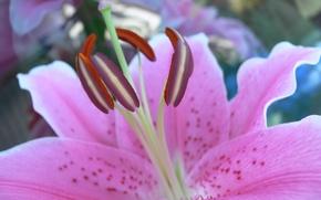 Картинка лилия, лепестки, тычинки, пестики