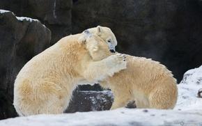 Обои хищники, борьба, игра, снег, драка, зима, разборка, пара, зоопарк, белые медведи, полярные медведи, скалы