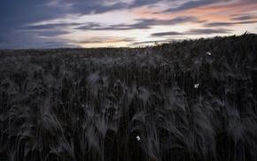 Обои ночь, поле, колосья, небо, природа