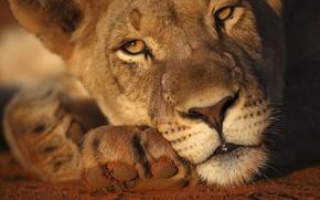Обои head, lioness, sunlight