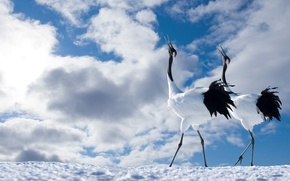 Обои пара, птицы, небо, японский журавль, облака