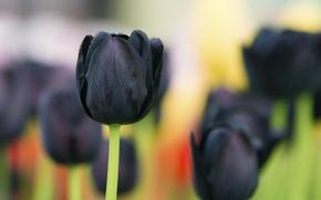 Картинка макро, фон, чёрный тюльпан