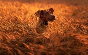 Картинка поле, природа, животное, собака, голова, колосья, пёс