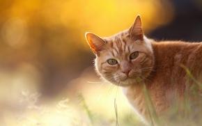 Картинка трава, кот, рыжий, боке, Chopin