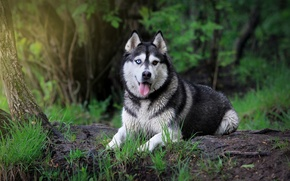 Картинка взгляд, собака, сибирский хаск