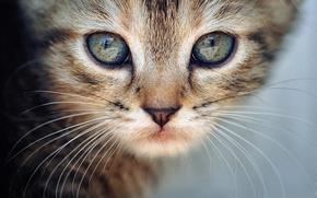 Картинка кошка, кот, усы, взгляд, макро, котенок, животное, cat