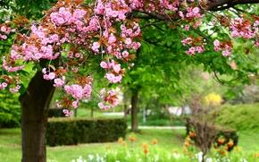 Картинка цветы, природа, парк, весна, розовые, nature, park, Photo, pink flowers