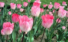 Картинка тюльпаны, розовые, поле цветов