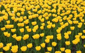 Картинка желтые, тюльпаны, клумба