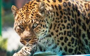 Картинка взгляд, морда, хищник, леопард, leopard, крадётся