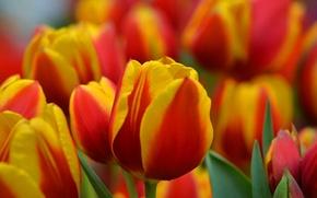 Картинка природа, лепестки, тюльпаны, клумба, плантация