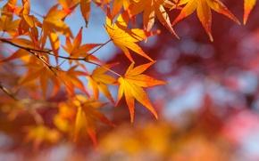 Картинка осень, листья, ветка, клен