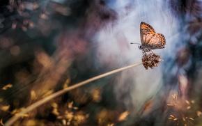 Картинка макро, бабочка, растение, боке