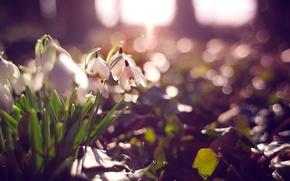 Картинка цветы, лепестки, подснежники, белые, боке