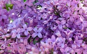Обои фиолетовый, зеленый, весна, лиловый, сирень