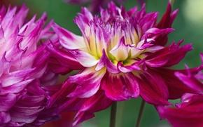 Картинка макро, цветы, лепестки, георгины, обои от lolita777
