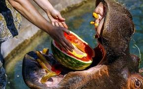 Картинка вода, руки, арбуз, пасть, бегемот, трапеза