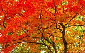 Обои дерево, ствол, крона, осень, листья, багрянец