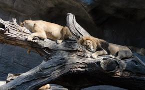 Картинка кошка, отдых, лев, коряга, львица