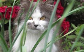 Картинка кошка, трава, кот, серый, cat