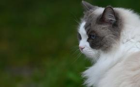 Обои кошка, фон, портрет, профиль, пушистая, мордочув