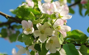 Картинка макро, ветки, дерево, розовый, весна, яблоня