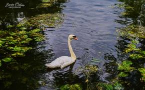 Картинка love, swan, nature, bird, water, park, lake, animal