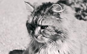 Картинка чёрно-белое, весна, пушистый, Кот, Сёма