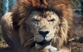 Картинка животные, хищники, лев, царь зверей, дикие кошки, львы, animals, lion, lions, predators, wild cat, king …