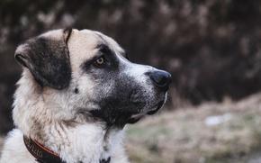 Картинка морда, профиль, ошейник, пёс