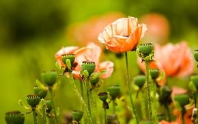 Картинка цветы, green, Маки, flowers, Bartholomew Photography, Papaver