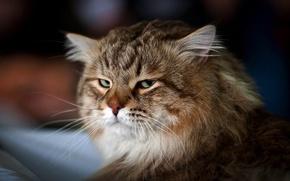 Обои взгляд, мордочка, пушистый, кот