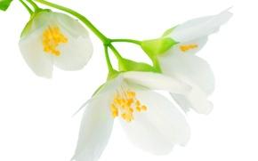 Обои jasmine, tender spirit, flowers, white, branch, leaves, spring