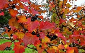 Картинка листья, природа, текстура, Осень, рябина чёрная