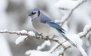 Обои Ветка, снег, птица, зима