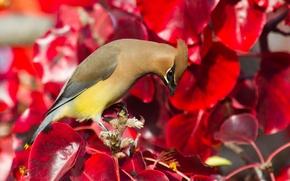Обои листья, птица, краски, свиристель